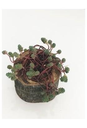 Fidan Burada Mini Kütükte Bitki