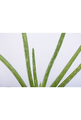 Fidan Burada Aloe Vera Bitkisi - Orta Boy 15-20 Cm