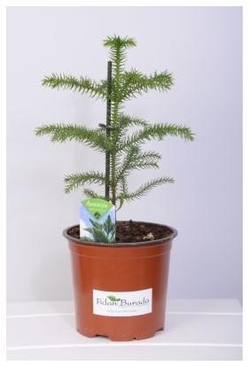 Fidan Burada Arokarya (Araucaria Heterophylla) Salon Çamı Mini Boy