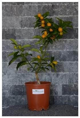 Fidan Burada Kamkat - Kumkuat (Citrus Fortunella) 40-50 Cm