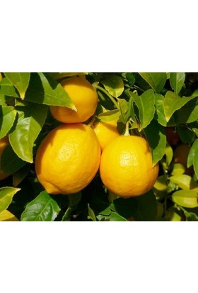 Fidan Burada Mayer Limon Fidanı - (Yediveren Limon- Meyveli 110 -130 Cm)