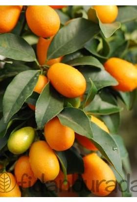 Fidan Burada Kamkat - Kumkuat (Citrus Fortunella) 60-80 Cm Saksılı