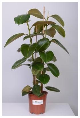Fidan Burada Kauçuk Bitkisi (Ficus Elastica) +100 Cm