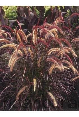 Fidan Burada Panisetum Çalısı (Pennisetum Setacum Rubrum)