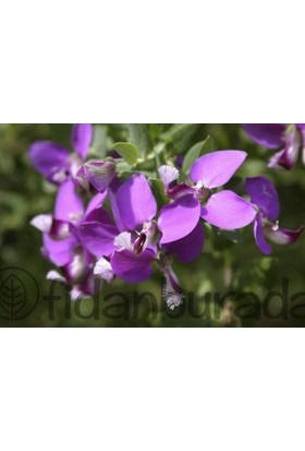 Fidan Burada Poligala Çiçeği - Süt Otu (Polygala Myrtifolia)