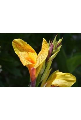Fidan Burada Kana- Tesbih Çiçeği (Sarı Renkli)