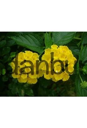 Fidan Burada Çalı Minesi-Üç Ortak-Lantana Çiçeği (Lantana Camara)