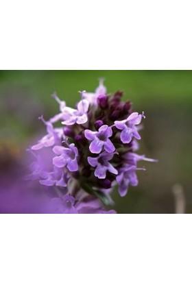 Fidan Burada Yabani Kekik (Thymus Serpyllum)