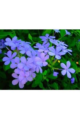 Fidan Burada Mavi Yasemin (Plumbago Capensis)