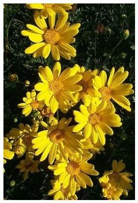 Fidan Burada Sarı Papatya - Sarı Çalı Papatyası (Euryops Pectinatus)