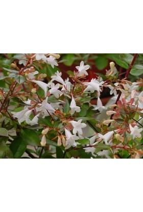 Fidan Burada Abelya - Büyük Çiçekli Kelebek Çalısı (Abelia Grandiflora)