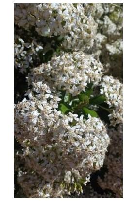 Fidan Burada Defne Yapraklı Kartopu (Viburnum Tinus)