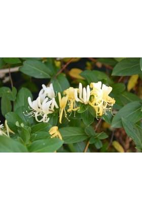 Fidan Burada Hanımeli Çiçeği -Kokulu-(Lonicera)