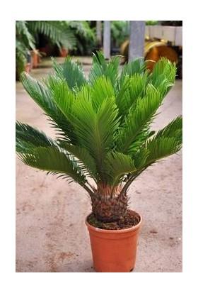 Fidan Burada Sikas - Cycas Revoluta - Japon Sago Palmiyesi + 50 Cm