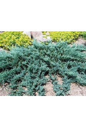 Fidan Burada Mavi Ardıç (Juniperus Horizontalis Blue Chip)