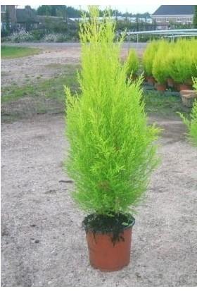 Fidan Burada Limon Servi (Cupressus Macrocarpa Goldcrest) 40/60 Cm.