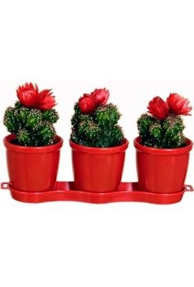 Berceste Peyzaj Kaktüs Saksısı Ve 3 Adet Değişik Türden Çiçekli Cactus