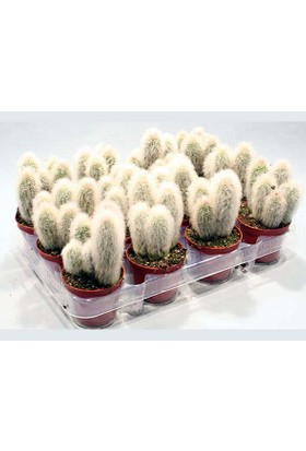 Berceste Peyzaj Beyaz Tüylü Kaktüs (Cactus Austrocephalocereus Dybowskii)