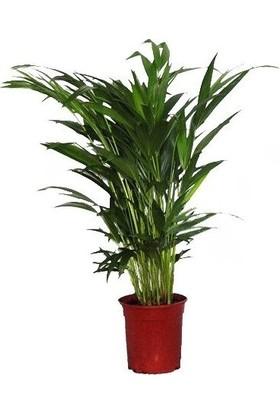 Berceste Peyzaj Areka Bitkisi (Areca Lutescens 60-80 Cm - Salon Palmiyesi)