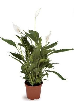 Berceste Peyzaj Barış (Yelken Çiçeği) Spathiphyllum Salon Bitkisi