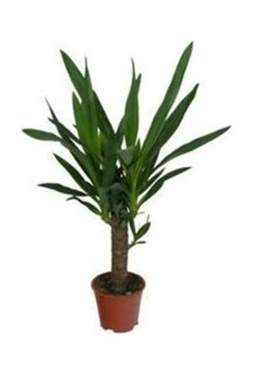 Bercestepeyzaj Yuka Bitkisi - Yucca (Avize Çiçeği)