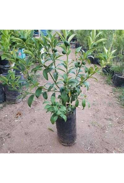 Berke Fidancılık Kamkat Nagami 50-70 Cm Aşılı 3 Yaş (Bol Meyveli)