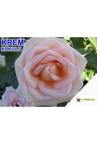 Yediveren Krem Beyazı Kokulu Gül Tohumu(10 tohum)