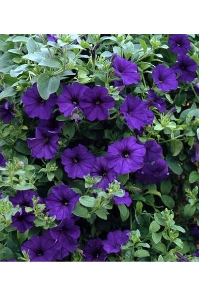 Violet Petunya Çiçeği Tohumu(100 Tohum) 2 Alana 1 Bedava