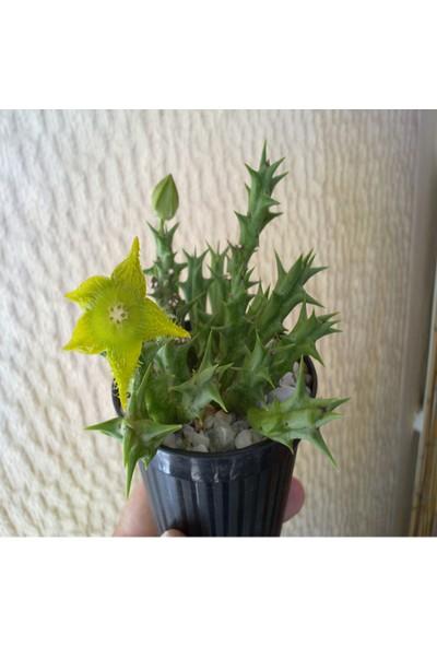 Yıldız Çiçekli Orbea Dummeri Sukulent
