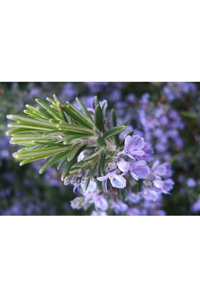 Yalova Fidan Market Biberiye (Rosmarinus Officinalis) Fidanı Aşılı
