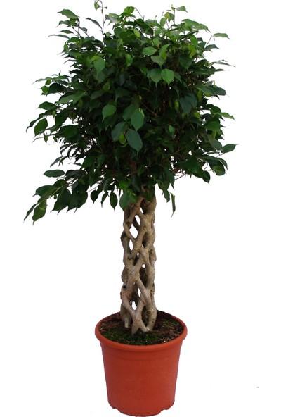 Berceste Peyzaj Ficus Benjamin Kafes Örgü