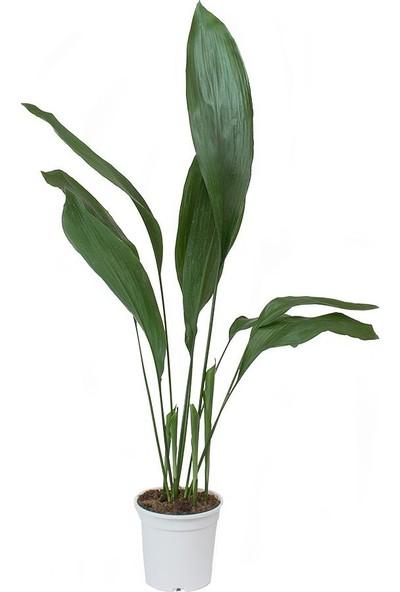 Plantistanbul Aspidistra Elatior Salon Yaprağı, Saksıda
