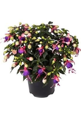 Plantistanbul, Fuchsia Küpeli Çiçeği , Saksıda