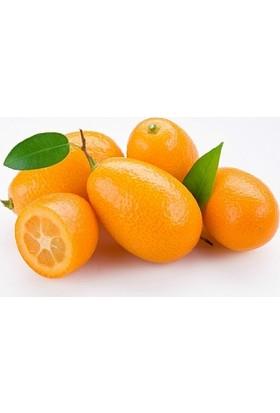 Tropik Marketim Kamkat Nagami 3.5 Yaş (Torbalı 50 Cm Üzeri) Bol Meyveli