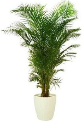 Bercestepeyzaj Areka Bitkisi (Palmiye Areca 130 Cm - Salon Palmiyesi)