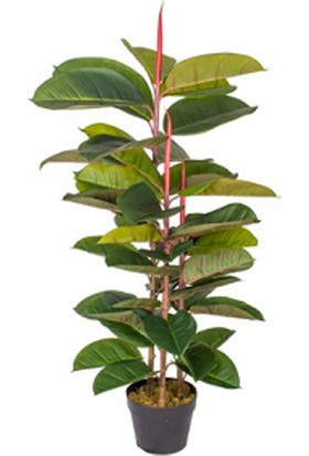 Bercestepeyzaj Kauçuk Bitkisi - Ficus Elastica Tek Gövde 100-120 Cm