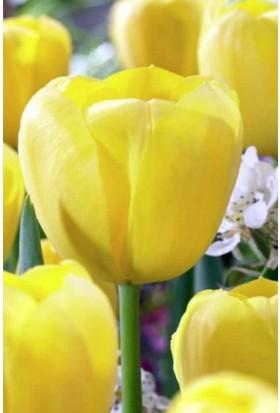 E-Fidancim Golden Brigitta Sarı Lale Soğanı 5 Adet