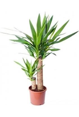 Bercestepeyzaj Avize Çiçeği ( Yucca ) 2 Köklü