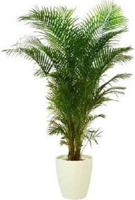 Bercestepeyzaj Areka Bitkisi (Palmiye Areca 130 Cm - Salon Palmiyesi) - Saksılı