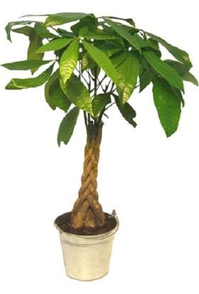 Bercestepeyzaj - Feng Shui Para Ağacı-Pachira Örgü Gövde 180 Cm - Ofis & Ev Ve Salon Bitkisi