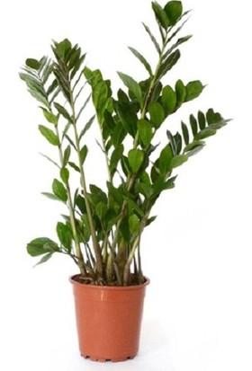 Bercestepeyzaj - Zamia Çiçeği - Zeze Çiçeği 30 Cm Dolgun Salon & Ofis Bitkisi