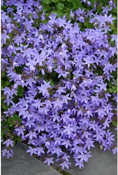 Plantistanbul Mavi Çan Çiçeği Çiçek Tohumu +-1000 Adetli