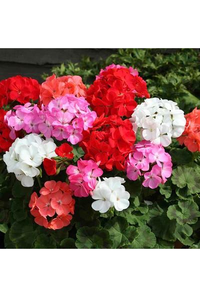 Plantistanbul Sardunya Çiçeği Karışık Renk Çiçek Tohumu +-24 Adet