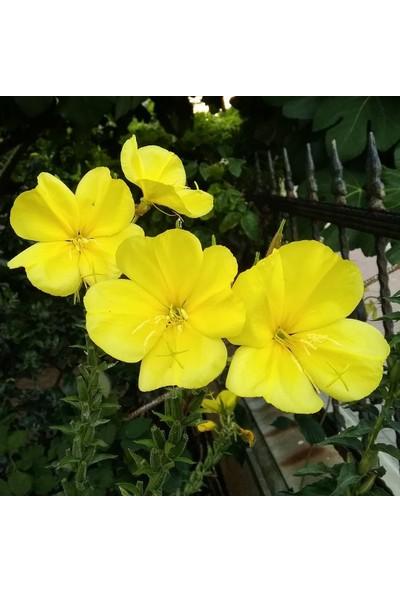 Plantistanbul Sarı Ezan Çiçeği Çiçek Tohumu +-50 Adet