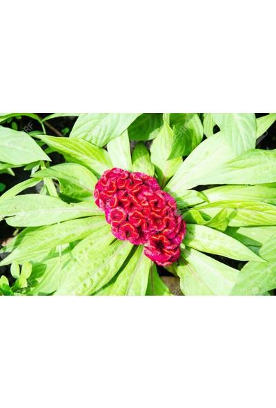 Plantistanbul Horoz İbiği Cristata Çiçeği Kırmızı Renk Çiçek Tohumu +-50 Adet