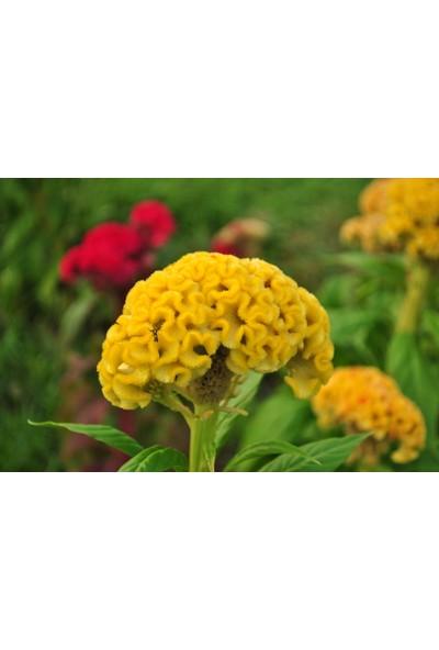 Plantistanbul Horoz İbiği Cristata Çiçeği Sarı Renk Çiçek Tohumu +- 50 Adet