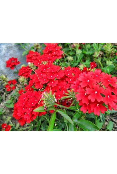 Plantistanbul Mine Çiçeği Kırmızı Renk Çiçek Tohumu +- 40 Adet