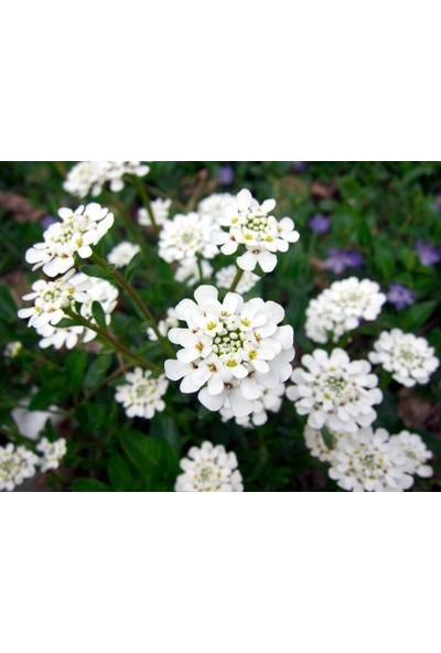 Plantistanbul Mine Çiçeği Beyaz Renk Çiçek Tohumu +- 40 Adet