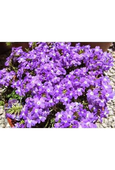 Plantistanbul Mine Çiçeği Mor Renk Çiçek Tohumu +- 40 Adet