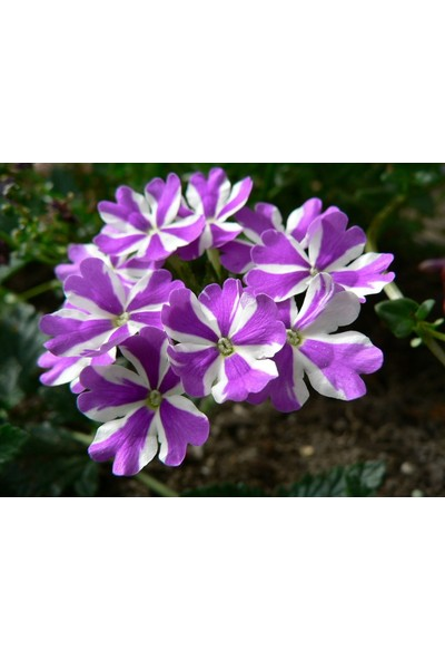 Plantistanbul Mine Çiçeği Mor Beyaz Renk Çiçek Tohumu +- 40 Adet